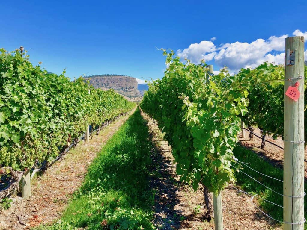 T7 Blue Terrace Vineyard - July 2018
